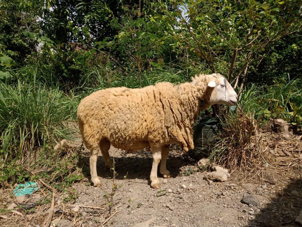 Syarat Domba untuk Aqiqah